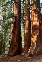 ジャイアントセコイアの林