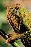ジャクソンカメレオン 02314002437| 写真素材・ストックフォト・画像・イラスト素材|アマナイメージズ
