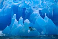 氷山の上のヒゲペンギン