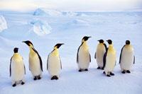 氷の上に立つコウテイペンギン
