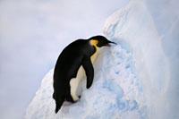 体温を下げるため雪を食べるペンギン
