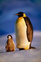 ヒナと一緒にいるコウテイペンギン