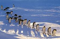 歩いているコウテイペンギン