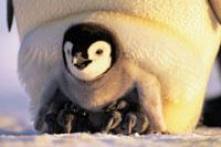 親の足の上に立つコウテイペンギンのヒナ