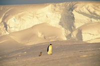 コウテイペンギンの成鳥とヒナ