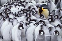 コウテイペンギンの両親とヒナ