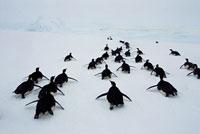 トボガン滑りをするコウテイペンギン