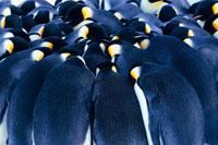 身を寄せ合うコウテイペンギン