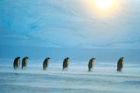 ブリザードの中のコウテイペンギン
