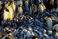 身を寄せ合うコウテイペンギンのヒナ
