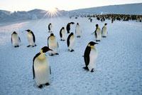 コウテイペンギンと夕日