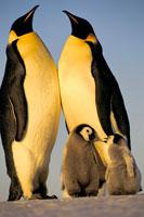 コウテイペンギンとヒナ