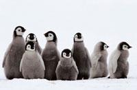 コウテイペンギンのヒナ