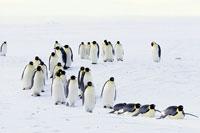 流氷を渡るコウテイペンギン