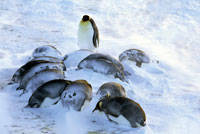 雪嵐が去ったあとのコウテイペンギン