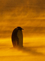 雪嵐の中のコウテイペンギン