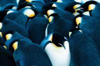 身を寄せ合うコウテイペンギン族