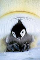 親に抱かれたコウテイペンギンのヒナ