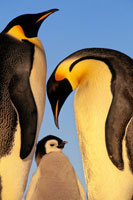 コウテイペンギンの家族
