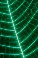 オオバノボタンの葉
