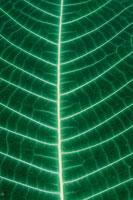 オオバノボタンの葉 02314002653| 写真素材・ストックフォト・画像・イラスト素材|アマナイメージズ