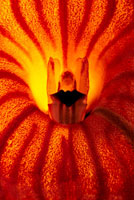 マスデバリア 02314002663| 写真素材・ストックフォト・画像・イラスト素材|アマナイメージズ