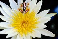 睡蓮の中のクサガエル 02314002680| 写真素材・ストックフォト・画像・イラスト素材|アマナイメージズ