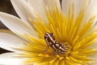 睡蓮の中のクサガエル 02314002681| 写真素材・ストックフォト・画像・イラスト素材|アマナイメージズ