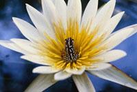 睡蓮の中のクサガエル 02314002682| 写真素材・ストックフォト・画像・イラスト素材|アマナイメージズ