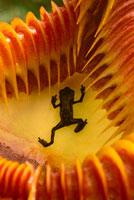 ウツボカズラの中のアジアキノボリガマ 02314002691| 写真素材・ストックフォト・画像・イラスト素材|アマナイメージズ