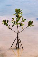 マングローブの若木