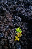 噴出物の上に生えるアマウシダとコケ