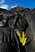 噴出物の上に生えるアマウシダとコケ 02314002789| 写真素材・ストックフォト・画像・イラスト素材|アマナイメージズ