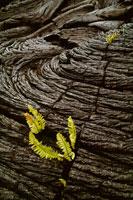 溶岩の割れ目から芽吹くシダ