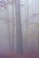 靄の中のブナ林