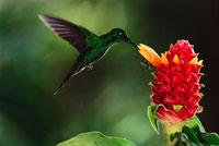 生姜の蜜を吸うミドリボウシテリハチドリ