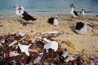 ゴミだらけの海岸のコアホウドリ