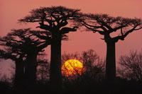 夕暮れのバオバブの木立