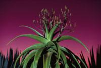 花の咲くアロエバオンベ