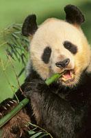 竹を食べるジャイアントパンダ