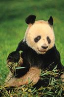 竹を食べるジャイアントパンダ 02314003226| 写真素材・ストックフォト・画像・イラスト素材|アマナイメージズ