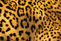 ジャガーの毛皮