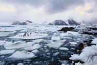 海氷の上のアデリーペンギン
