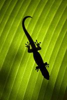 ヤシの葉の上のオオヒルヤモリ 02314003296| 写真素材・ストックフォト・画像・イラスト素材|アマナイメージズ