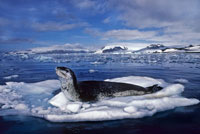 流氷の上のヒョウアザラシ
