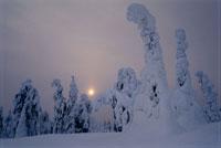 雪の中のトウヒ