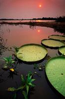 日没のオオオニバス 02314003784| 写真素材・ストックフォト・画像・イラスト素材|アマナイメージズ