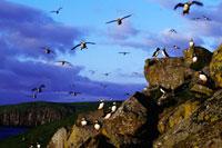 海から群れへ戻るニシツノメドリ