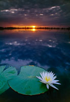日没の昼開花性スイレン 02314003948| 写真素材・ストックフォト・画像・イラスト素材|アマナイメージズ