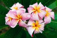花の咲くプルメリア